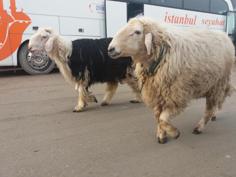گوسفندهای عراق